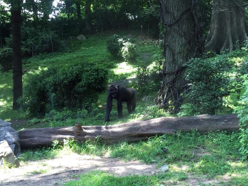 Congo Gorilla Forest