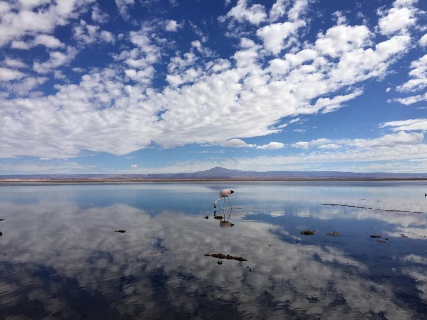 Flamingo no Salar de Atacama