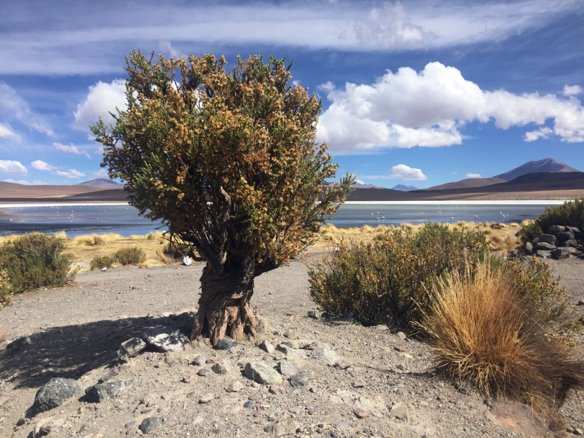 Árvore às margens da Laguna Cañapa
