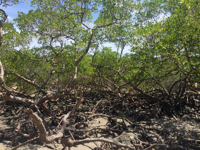Morro de São Paulo, Ilha da Saudade manguezal