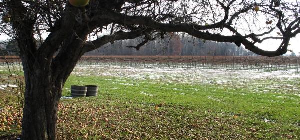 Plantação de uvas
