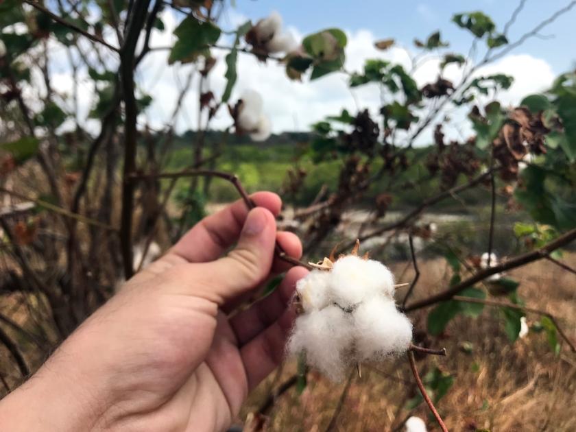Ainda é possível encontrar pés de algodão pelas ruas