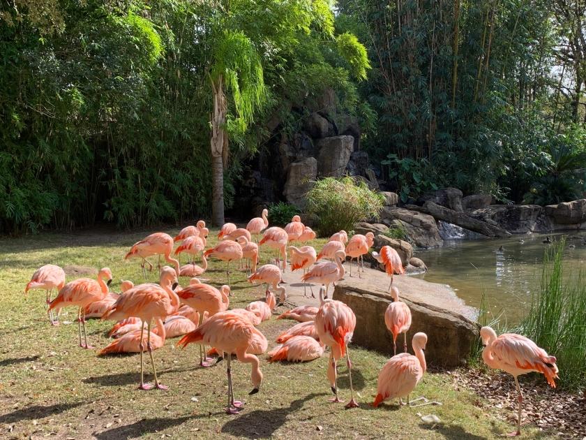 Flamingos peruanos