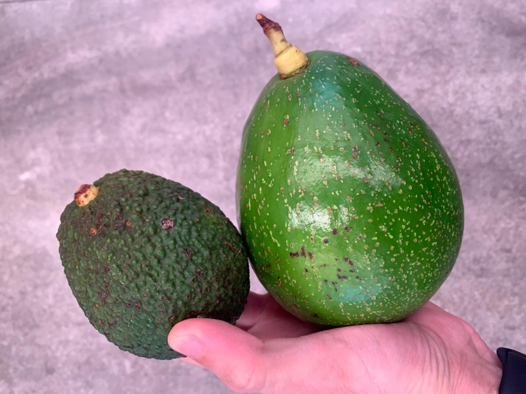 Avocado e abacate